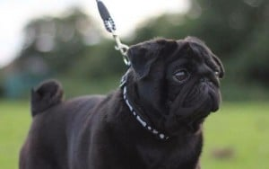 Pug Stud Dog - Dark Destroyer