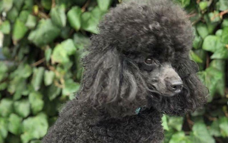 To Poodle - Stud Dog - Black Jack