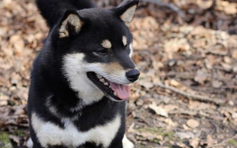 Stud Dog -Japanese Shiba Inu - Chief