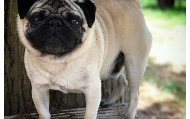 Stud Dog - Pug - Rocky