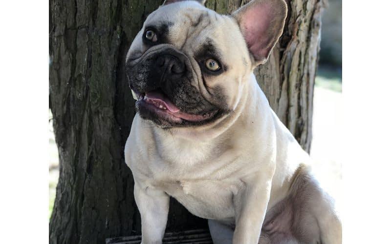Stud Dog - French Bulldog - Woody