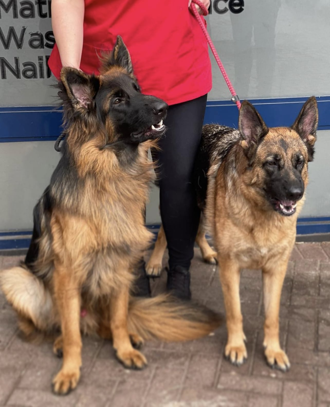 German Shepards after artificial insemination